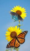Wild sunflower, Helianthus annuus, against blue sky with a Monarch and Green Swallowtail butterfly feeding on the florets — Stock Photo