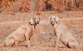 Two Weimaraner dogs sitting in grass against dry brown winter background — Stock Photo
