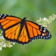 Male Monarch butterfly feeding on a white flowers of a butterfly bush against summer green background — Stock Photo #71276721