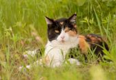 Beautiful calico cat resting in spring grass, looking at the viewer — Stock Photo