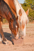 Two horses licking on a salt block — Stock Photo