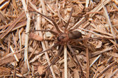 Closeup image of a Brown Recluse, Loxosceles reclusa, a venomous spider camouflaged on dry winter grass — Stock Photo