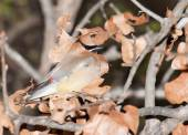 Cedar Waxwing, Bombycilla cedrorum camouflaged in an oak tree among dry leaves, making it difficult to find for predators — Stockfoto