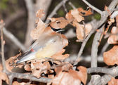 Cedar Waxwing, Bombycilla cedrorum camouflaged in an oak tree among dry leaves, making it difficult to find for predators — Stock Photo