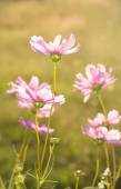 Dainty pink Cosmos flowers back lit by evening sun — Stock Photo