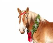 Belgian Draft horse with a Christmas wreath looking proudly at the viewer, isolated on white background — Foto Stock