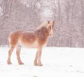 Belgian draft horse in a blizzard, looking at the viewer — Stock Photo