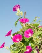 Deep pink blooms of Ipomoea purpurea, Morning Glory, climbing up on a trellis reaching for light — Stock Photo