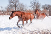 Horse doing a hard sliding stop at liberty in snowy winter pasture — Stock Photo