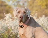 Weimaraner dog looking at the viewer, with spring flower background — Stock Photo