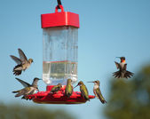 Multiple Hummingbirds at feeder, some eating nectar, some hovering waiting their turn — Stock Photo