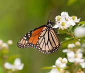 Monarch butterfly feeding on a wild Blackberry flower in spring — Stock Photo