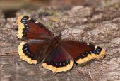 Mourning Cloak butterfly feeding on oak tree sap — Stock Photo
