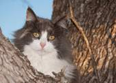 Blue, cream and white diluted calico cat up in a tree, looking at the viewer — Stock Photo