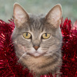 Blue tabby cat with red tinsel — Stock Photo #71280929