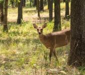 Sika Deer, Cervus nippon, in forest, looking at the viewer partially from behind a tree — Stock Photo