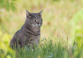 Beautiful blue tabby cat sitting in spring grass in a shade — Stock Photo