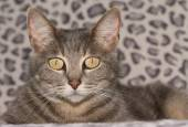 Beautiful blue tabby cat looking at the viewer — Stock Photo