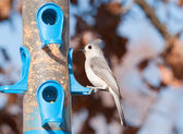 Baeolophus bicolor, Tufted Titmouse sitting at a bird feeder in winter — Stock Photo