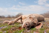 Comical image of a Weimaraner dog being lazy, lying in spring grass looking at the viewer — Stock Photo