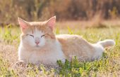 Yellow and white tomcat relaxing in spring grass back lit by late afternoon sun — Stock Photo