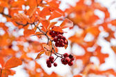 Colors of Fall (red berries over defocused orange foliage backgr — Stock Photo