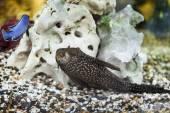 Pesce gatto acquario — Foto Stock