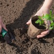 Planting tomatoes in the soil — Stock Photo #65833095