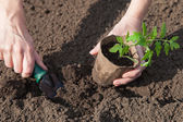 Planting tomatoes in the soil — Stock Photo
