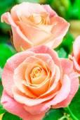 Gül çiçek — Stok fotoğraf