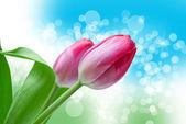 Tulip flowers — Stock Photo