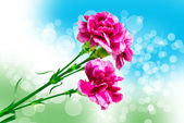 Carnation bloem — Stockfoto