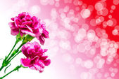 carnation flower — Stock Photo