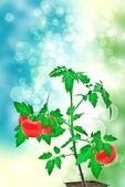 トマトの木 — ストック写真