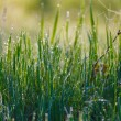 Close up of fresh thick grass with water drops in the early morning — Stock Photo #52749627