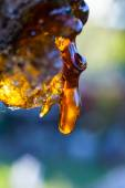 Solid amber resin drops on a cherry tree trunk. — Stock Photo