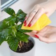 Woman wiping cloth house plant — Stock Photo #62290415