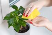 Woman wiping cloth house plant — Stok fotoğraf