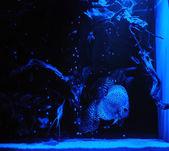 Aquarium fishes in blue light. — Stock Photo