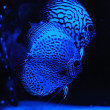 Aquarium fishes in blue light. — Stock Photo #56790039