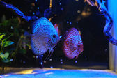 Aquarium fishes in blue light. — Stock Photo