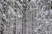 Wintery forest  background — Stock Photo