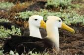 Waved albatross — Stock Photo