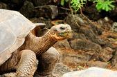 Galapagos turtle — Stock Photo