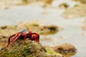 Sally Lightfoot galapagos island crabs — Stock Photo