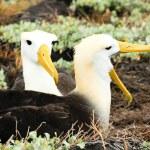 Waved albatross — Stock Photo #61174167