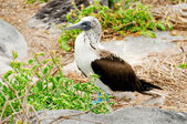 Blue footed boobie — Stock Photo