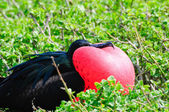 Red throated frigate birds — Stock Photo