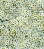 Seamless white tiny flower background — Stock Photo