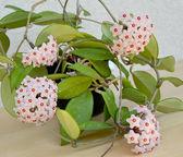 Blossoming hoya fleshy, or an ivy wax (Hoya carnosa (L.f. ) R.Br — Stock Photo